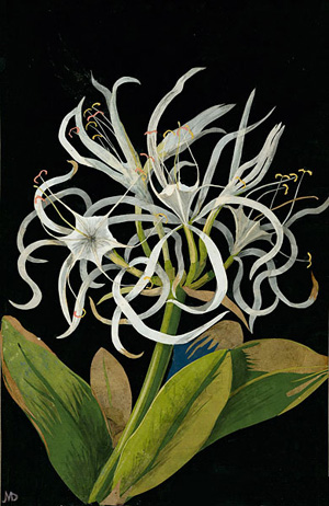 """Pancratium Maritinum"" by Mary Delany"