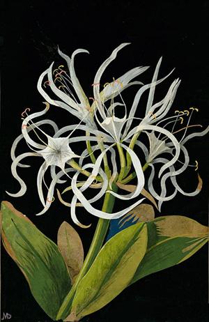 """Pancratium Maritinum"" by Mary Delany"